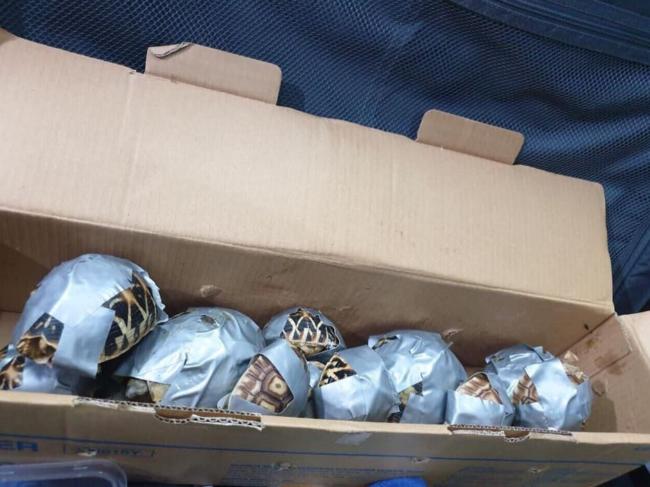 1,500 turtles wrapped in duct tape found in bags at Manila airport