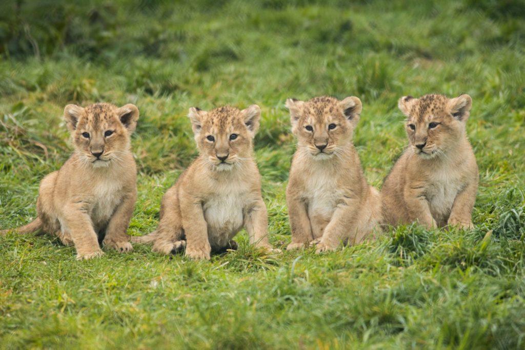 Fota Wildlife Park Lions