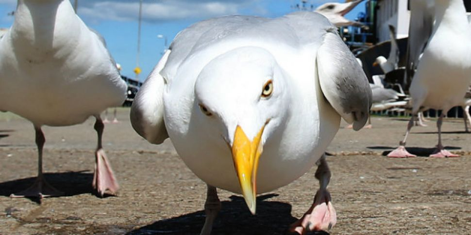 Staring at seagulls can stop them stealing food