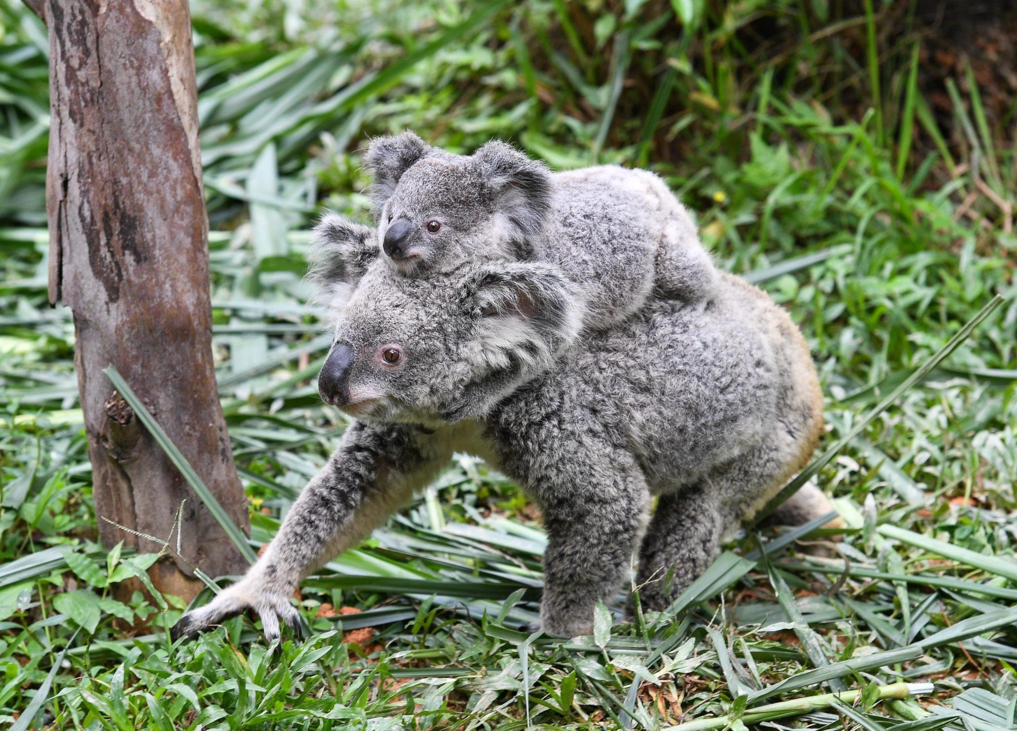 Charity Working To Save Koalas From Australian Bushfires Raises 900 000 Newstalk