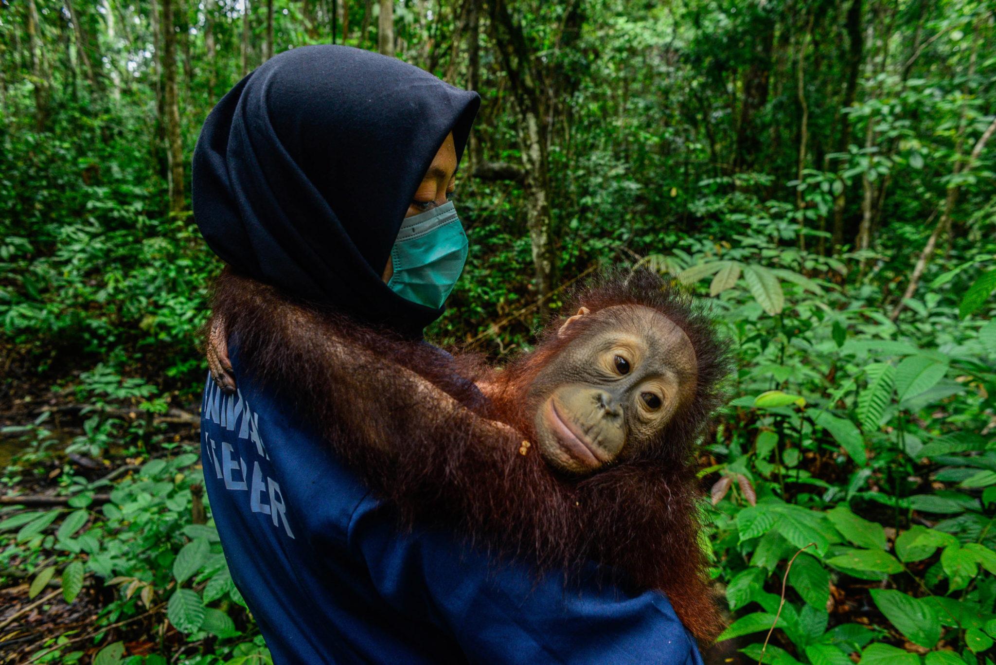 Orangutan palim oil