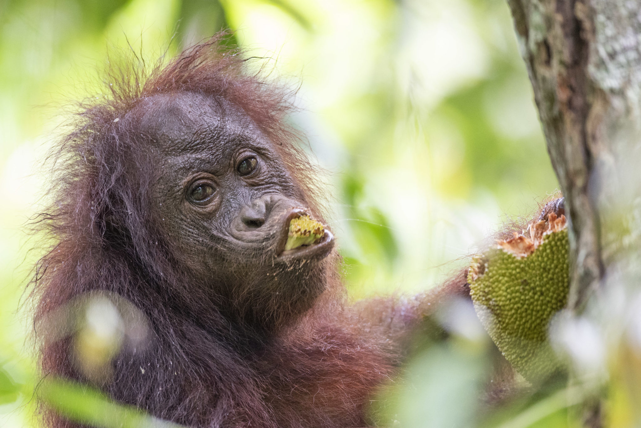 Orangutan palm oil