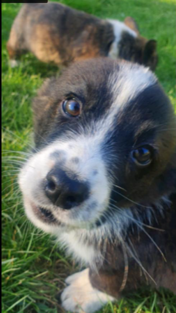 One of the photos on the Gumtree ad in UK, which Marie believes is her puppy