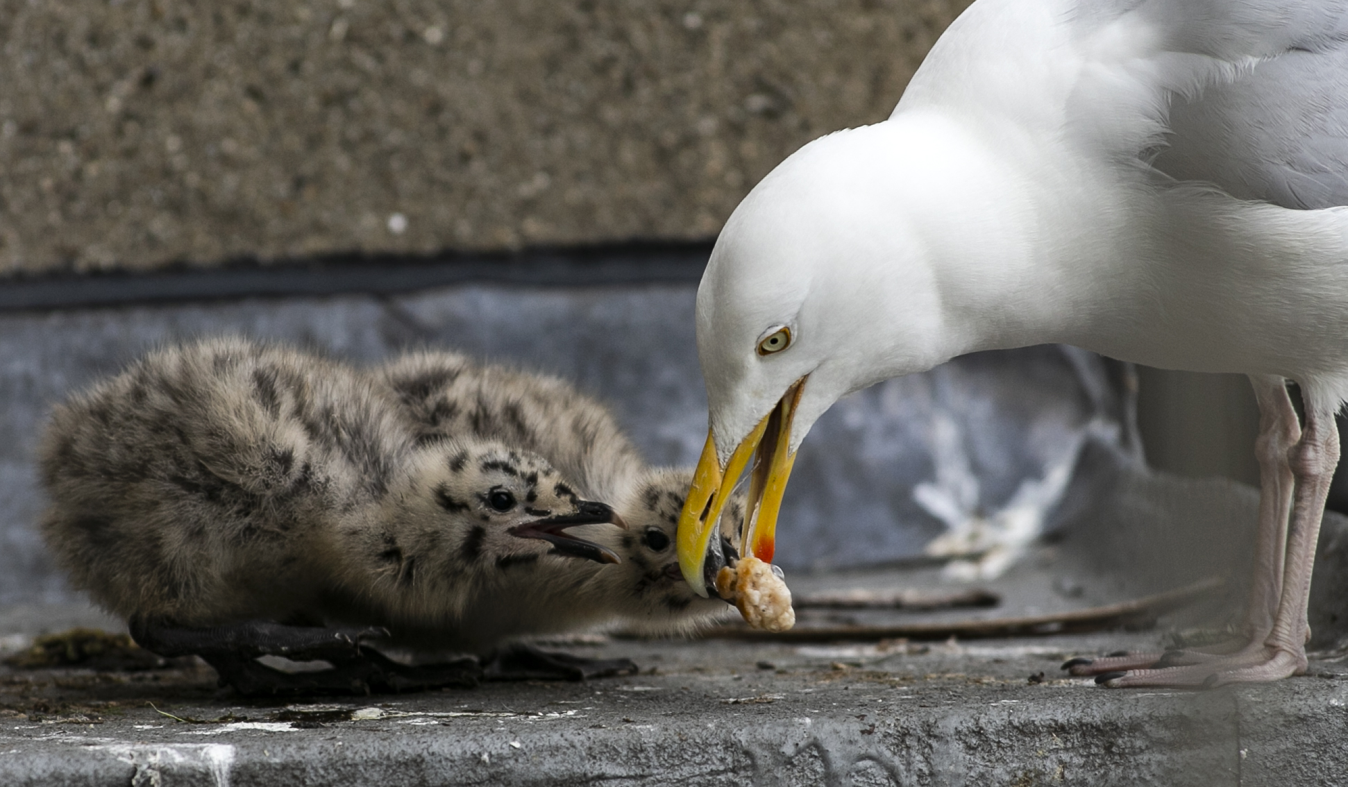 Baby gulls emerge from their nest on the side of a building in Dublin City Centre, 08-06-2021. Image: Sam Boal/RollingNews